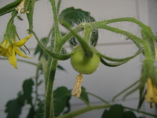 Early girl tomato---finally growing!